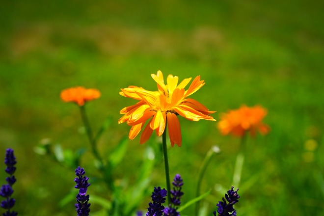 marigold-2117436_960_720