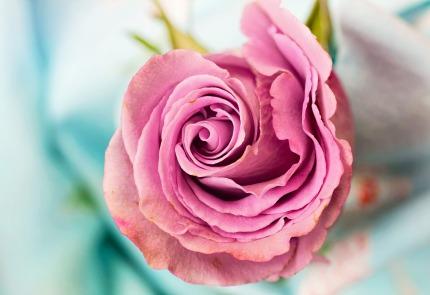 rose-3142529_1920